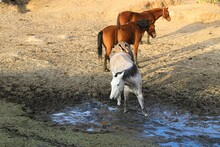 A Donkey, A Horse, A Foal, And A Colt Try To Drink Water From The Mud On The Floor Of A Dam Almost Dried Up By Droughts In The Sonoran Desert, Mexico