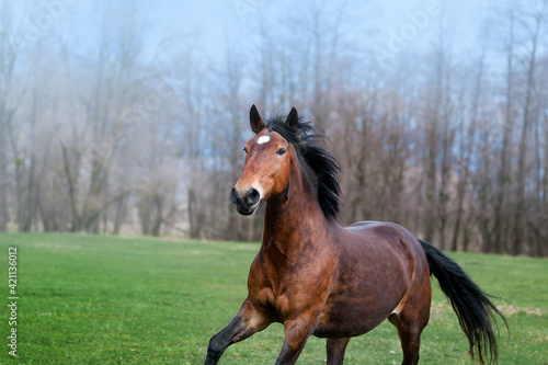 Obraz na plátne Beautiful bay horse with black mane galloping on the green field on a neutral background