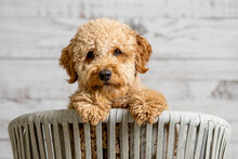 A Mini Golden Doodle Puppy Looking To The Camera