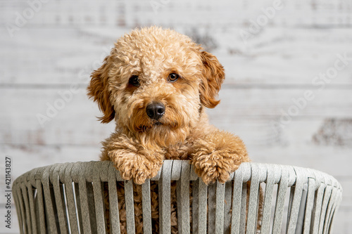 Fotografie, Obraz A mini golden doodle puppy looking to the camera