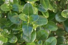 Coprosma Repens Or Mirror Bush Plant Outdoor