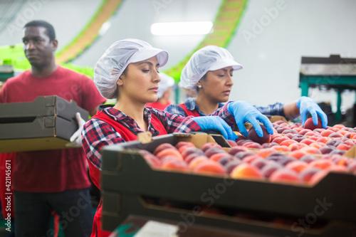 Fototapeta Latino female employees in uniform sorting fresh ripe peaches on producing grading line at fruit warehouse obraz