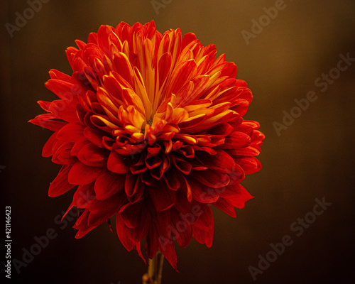 Canvas red dahlia flower