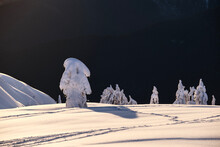 Frozen Fir Trees On Montain Top At Sunset. Snow Ghosts On Mount Seymour Provinicial Park Skiing Area. Vancouver. British Columbia. Canada