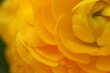 Orange ranunculus, flower close up