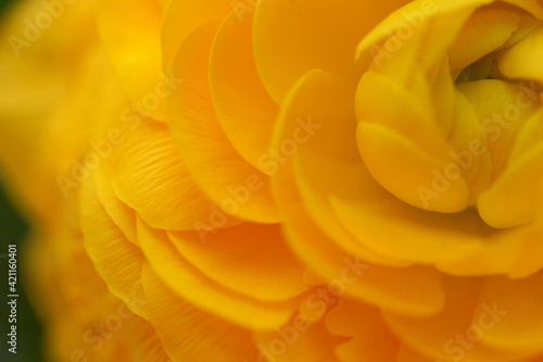 Fototapeta Orange ranunculus, flower close up obraz