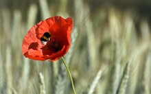 Close Up Of A Red Poppy And A Bumblebee In Sunshine