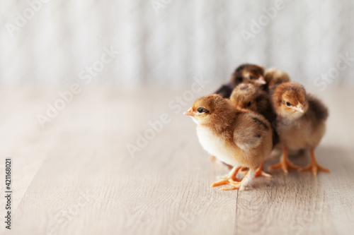 Leinwand Poster Newborn fluffy fledgling chickens against the light  background