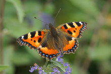 Closeup Of A Fresh Small Tortoiseshell Butterfly, Aglais Urticae , With Open Wings On Blue Flowers Of Bluebeard, Caryopteris Incana