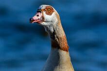Brown Feather Goose. Wild Bird. Wild Goose Close-up.