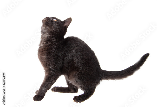 Fototapeta Black cat isolated on a white