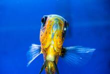 Tiger Oscar Fish Closeup. Fish In Aquarium.