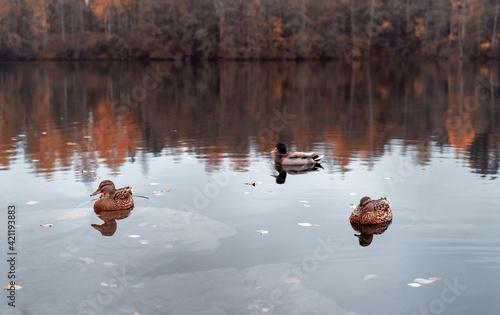 Canvas Print Wild ducks in mountain lake. Mountain lake landscape.