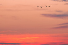 Silhouette Of 4 Flying Wild Geese In Front Of The Red Sky At Dawn.