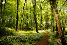 English Woodland In Late Spring