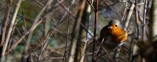 Fotografia, Obraz rouge gorge dans buisson