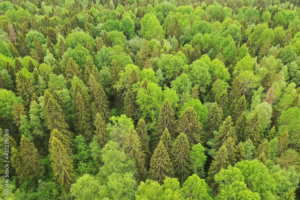 Fototapeta forest top view, landscape panorama view of summer forest with quadrocopter aerial view