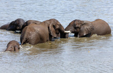 Group Of Male Elephants Cooling Off In A Water Hole, South Africa