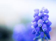 Bright Blue Muscari Flower Close Up. Image With Selected Soft Focus