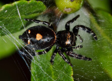 Bold Jumping Spider In A Web On Tree Foliage, Dorsal View Macro (Phidippus Audax).
