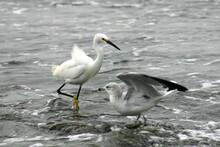 Snowy Egret Hunting On California Shore Newport Beach With Gull