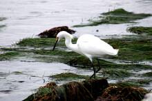Snowy Egret Hunting On California Shore Newport Beach