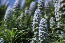 Background, Nature, Peak, Sky, Clouds, Blue, Depth Of Field, Detail, Mountain, Bee, Flower, Plant, Endemic, Valsequillo, Tenteniguada, Gran Canaria, Tajinaste, Azul, Tajinaste Azul, Beautiful