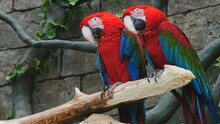 Two Red Parrot Macaws Are Sitting On A Branch..