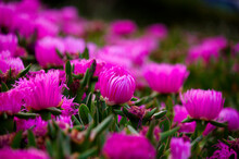 Close-up Of The Magenta Flowers Of The Ice Plant