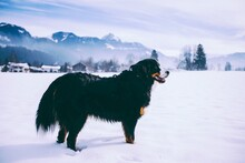 Black Dog Standing On Snow