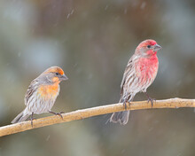 Two Male House Finches Perch In A Light Rain In Cheyenne, Wyoming
