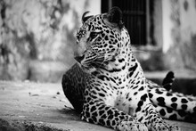 Leopard In The City