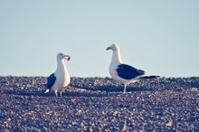 Two Seagulls On Beach Of Isla Magdalena, Chile