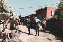 Goats In A Village Street