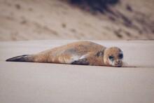 Monk Seal On The Beach. Porto Santo Island