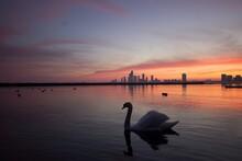 Swan In Lake During Sunset