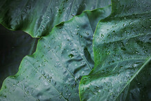 Green Leaves Of Elephant Ear Plant Natural Pattern Background
