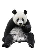 Closeup Of Giant Panda Bear Isolated On White Background