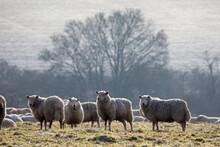 Flock Of Sheep On Frosty Morning, Near Burford, Cotswolds, Oxfordshire, England, United Kingdom, Europe