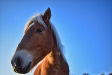 Close-up Of A Horse Against Clear Blue Sky