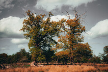 Two Ancient Oak Trees
