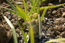 Investing Money In Agriculture, Land And Gardening. United States One Dollar Banknotes Wrapping Garlic Plants.