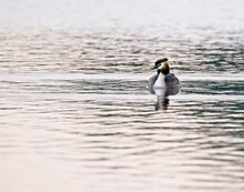 Full Length Of A Great Crested Grebe Swimming In Lake