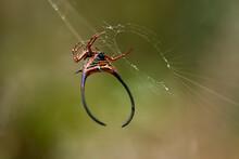 Horned Spider On Web