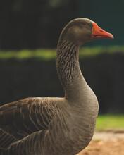 Close-up Of A Greylag Goose Bird