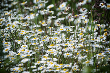 White Flowering Daisies On Field