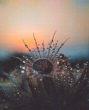 Close-up Of Wet Dandelion Against Sea During Sunset