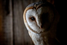 Close-up Portrait Of A Barn Owl
