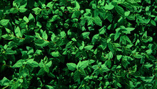 Natural Background Of Freshness Green Leaves. Young Plants. Copy Space.