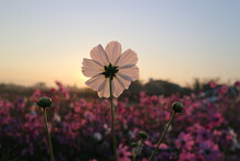 Close-up Of Cosmos Flower Against Sky During Sunrise